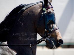 Morgan Horse Head