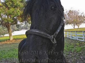 Friesian Horse Head 2