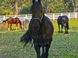 Friesian Horses Pasture 2