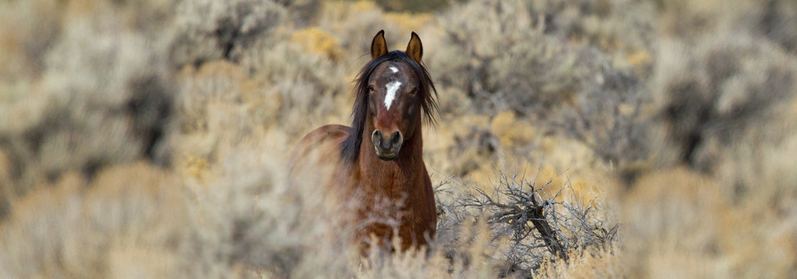 Wild Mustangs Photos and Images