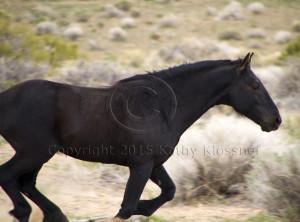 Wild Black Mustang Stallion