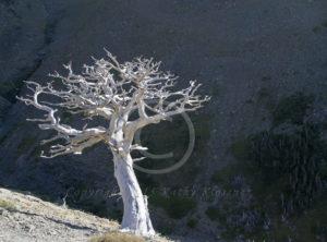 Silver Tree Glacier Park Montana