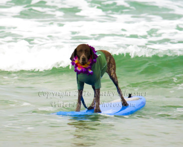 Surfing German Pointer