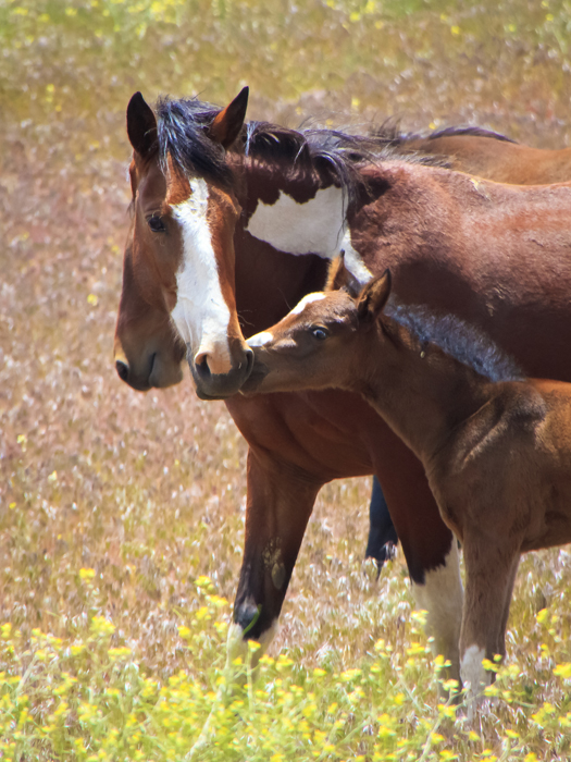 Wild Mustang Foal Photos Images Of Baby Mustang Horses