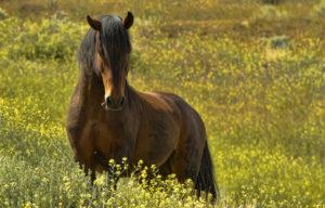 Proud Mustang Stallion