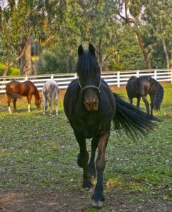 Friesian Horses - Pasture