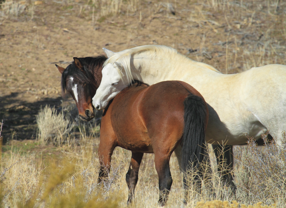 Wild Mustang Horse Photos Images Of Horses