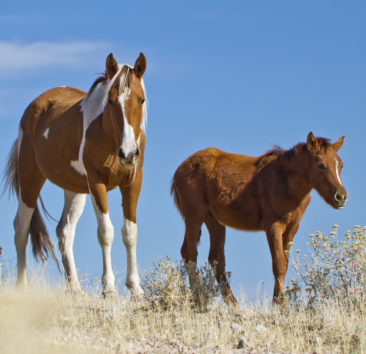 Wild Paint Mustang mare with her foal