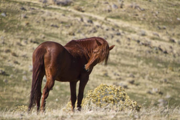 Big Red Mustang Stallion
