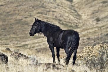 Lone black stallion horse