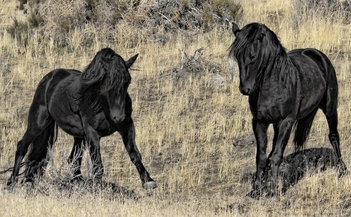 Two Wild Black Mustang Stallions Fighting Water Dancer Photos