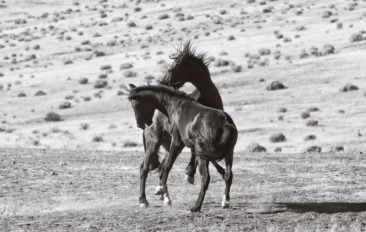 Two wild Mustang horses sparring - Black & White Collection