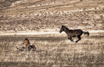 Young black foal runs by his brother - Black Rose Collection