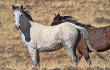 Wild Mustang Horses Artwork
